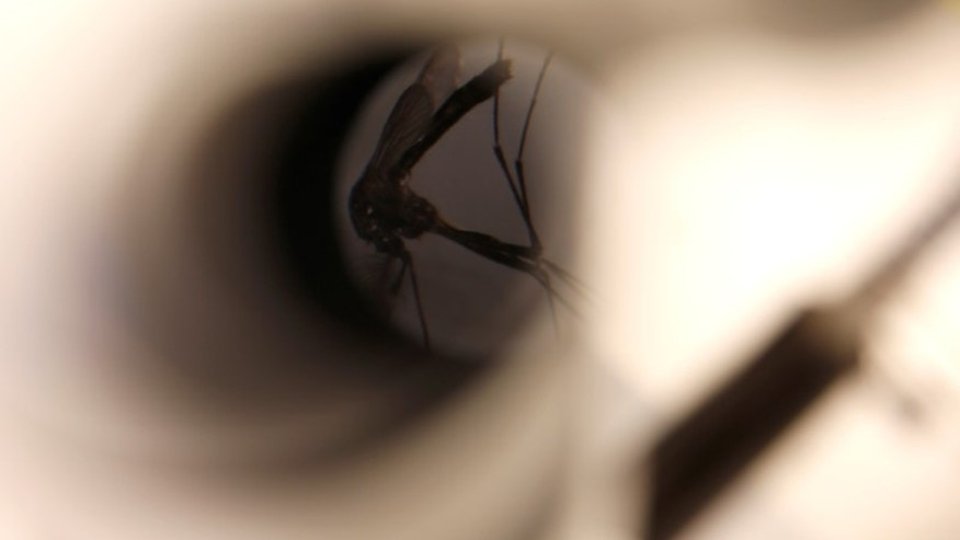 A mosquito is seen under a microscope at the Greater Los Angeles County Vector Control District in Santa Fe Springs