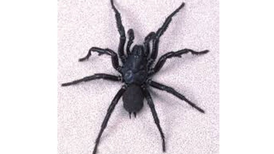 Funnel-web spider.