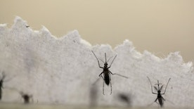 File photo: Aedes aegypti mosquitoes are seen at the Laboratory of Entomology and Ecology of the Dengue Branch of the U.S. Centers for Disease Control and Prevention in San Juan