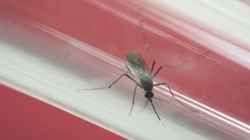 An Aedes aegypti mosquito sits inside a glass tube.