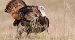 Wild Turkey - Male Tom displaying