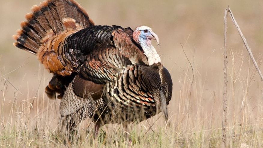 The men had been out hunting turkeys.