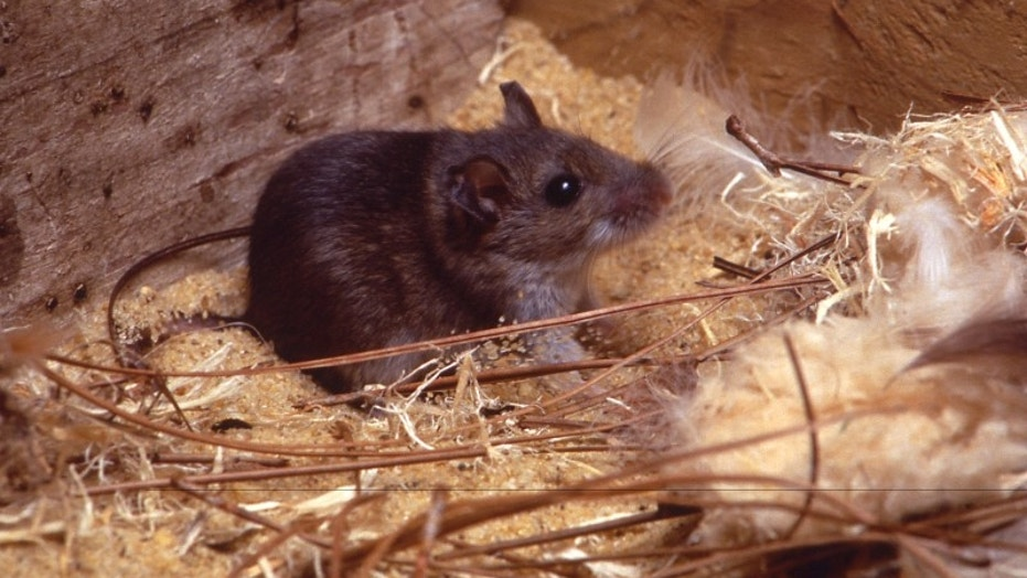A deer mouse is seen in a sawdust, pine needle, and bird feather habitat