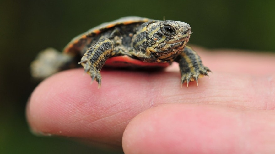 Turtles Caused Many Of The Salmonella Outbreaks This Year