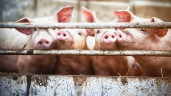 Happy pigs living  on organic ecological farm in Denmark..