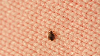 real bed bug on wool knitwear, good details on enlarge view