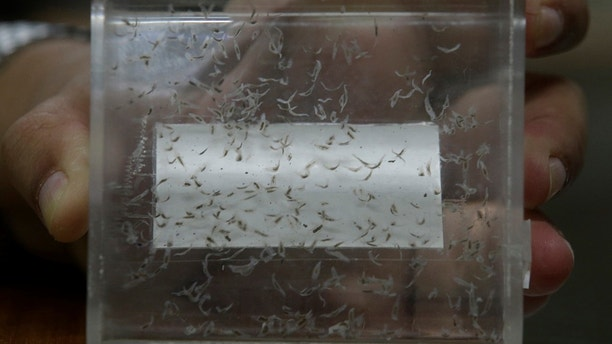 FILE - This Sept. 7, 2016 file photo shows a display of preserved liver fluke parasites at the Siriraj Hospital in Bangkok, Thailand. A half a century after serving in Vietnam, hundreds of veterans have a reason to believe they may be dying from a silent bullet. Test results show some men may have been infected by a slow-killing parasite while fighting in the jungles of Southeast Asia. The Department of Veterans Affairs this spring commissioned a small pilot study to look into the link between liver flukes ingested through raw or undercooked fish and a rare, bile duct cancer that usually takes decades for symptoms to appear. (AP Photo/Sakchai Lalit, File)