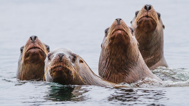 Curious sea lions poking head up from water. Hornby Island, BC, Canada.