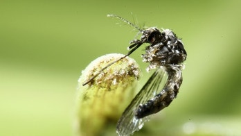 An aedes aegyti mosquitoes is pictured on a leaf in San Jose