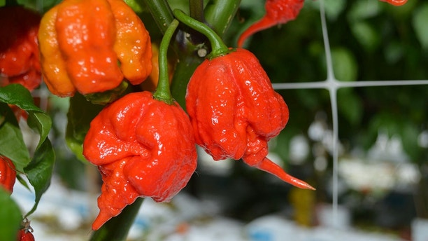 """EMBARGOED 11.30pm BST Monday (9-APR-2018 18:30 ET/22:30 GMT)File photo of a  'Carolina Reaper' chilli after an unknown man was left with thunderclap headaches from eating the famous pepper. See National News story NNCHILLI; A man bit off more than he could chew when he tackled the world's hottest chilli the 'Carolina Reaper' and was left with excruciating """"thunderclap"""" headaches. In the first ever recorded case of a chilli causing these types of headaches, the man over the next few days experienced short splitting pains lasting seconds at a time. The 34-year-old had eaten  just one of the chillies at a chilli eating contest. Immediately he began dry heaving and then developed intense neck and head pain starting at the back which then spread across the whole of the head."""