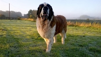 "The owners of a sick St Bernard dog were left stunned when a mass which vets thought was cancer turned out to be four half-chewed TEDDY bears.  See ROSS PARRY story RPYDOG.  Maisy, who bears similarities to loveable pooch Beethoven in the series of comedy films written by John Hughes, had the soft toys removed during an intricate procedure.  The eight-year-old now has a ""new lease of life"" and is thriving at home, say her relieved owners who admit they feared the worst.  They today (fri) revealed how a CT scan showed Maisy had an unusually full stomach and a mass on her spleen – an issue which was initially put down to her food not being digested properly.  This led her vet to diagnose possible cancer and the adorable dog was rushed in for surgery to remove her spleen.  But in an amazing twist, during the operation a vet found Maisy had actually devoured four teddy bears which had become lodged in her stomach.  Thankfully, Maisy has fully recovered following the cancer scare and a histology report has shown no signs of cancer."