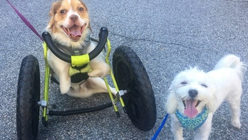 Loki, a disabled dog, with brother Marley, was born without its front legs has been fitted with a set of shiny new wheels after being rescued from a horror hoarding situation.See SWNS story NYWHEEL; A disabled dog born without its front legs has been fitted with a set of shiny new wheels after being rescued from a horror hoarding situation. Loki, three, was one of 30 animals rescued from the home of an animal hoarder in Alabama and was born without limbs because of close breeding. The chihuahua/beagle mix was adopted by engaged couple Katie Orsenigo, 24, and Ron Petruska, 26, who read about the dog's sad story on Petfinder. Katie, an office manager, and Ron, a car business owner, took Loki into their home in Mahopac, New York, but soon realized that the way he scooted around on his chest was hurting his back. Loki's vet advised the couple to get the pup fitted for an animal wheelchair, so he could walk and run without causing long-term damage to his spine. After a few adjustments, Loki fell in love with his wheels and now counts down the hours until he can hit the sidewalk with havanese brother Marley, six.