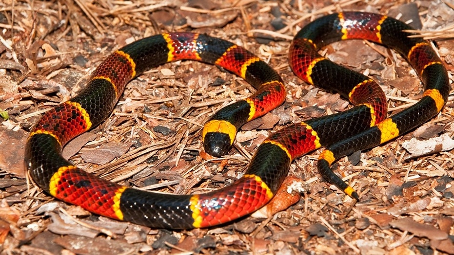 A Eastern Coral Snake.