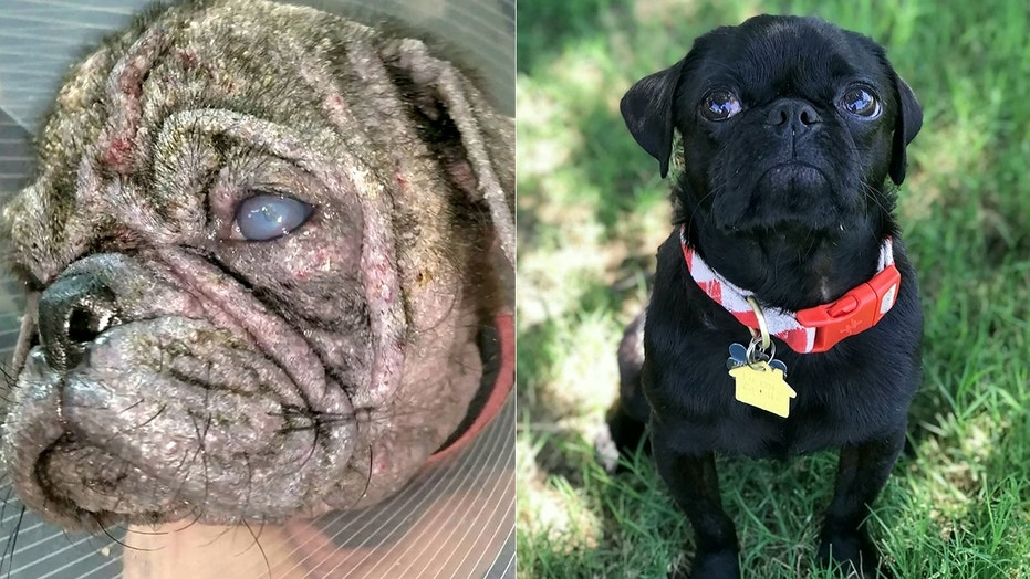 Dex, who was found wandering the streets in Texas, was suffering from an extreme case of mange and was in danger of losing his sight. Now, he's covered in a healthy coat and found a loving home with four other pugs.