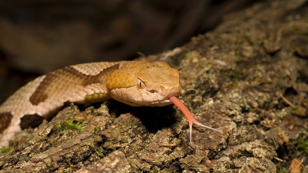 Copperhead Snake Flicking Tongue