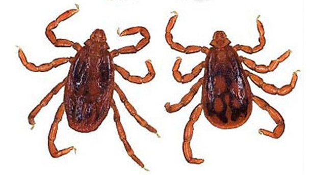 brown dog tick_istock