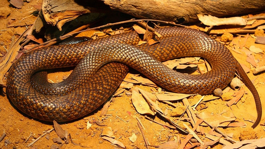 Joel Canning is believed to have been bitten on two separate occasions by a Western brown snake.