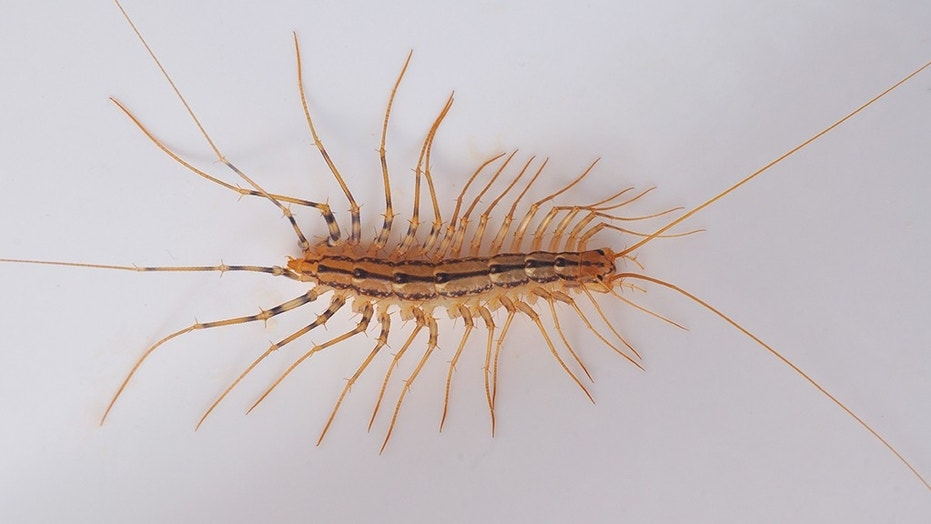A centipede was likely the cause of the rat lungworm parasite found in the mother and son.