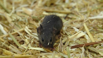 a little mouse wandering aound in a bed of straw
