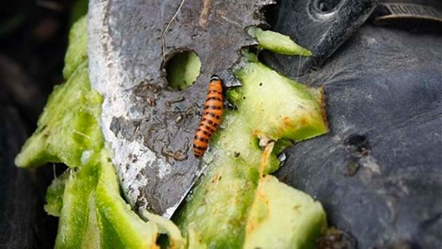In this Feb. 16, 2011 photo, a cactus moth larva crawls across the tip of a machete that was used to cut open a prickly pear cactus on the bank of Cactus Canal in Jefferson Parish, La. The moth's larvae infest prickly pear cacti, and officials are trying to prevent them from spreading further west to Texas, where the infestation could explode. (AP Photo/Patrick Semansky)