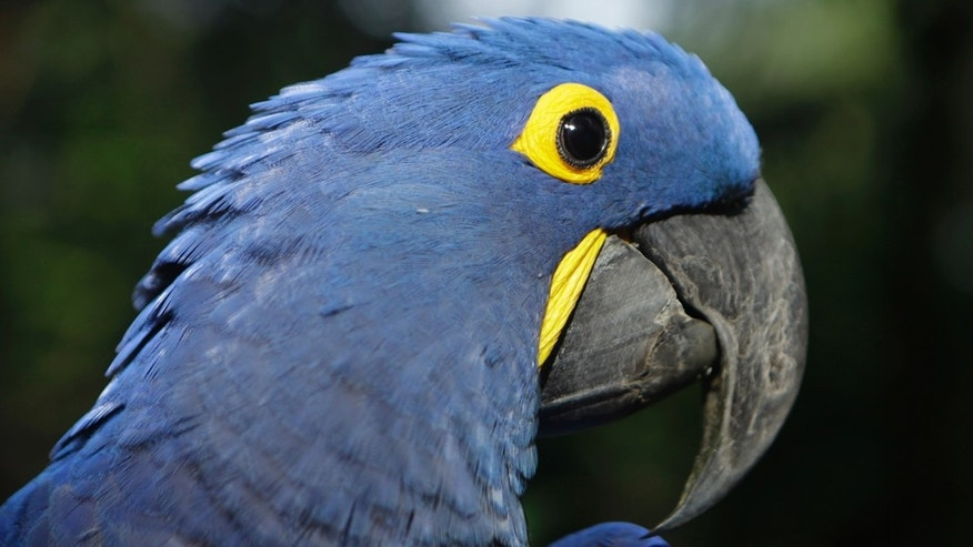 "Coco, a blue parrot, is perched on a branch at the zoo in Asuncion, Paraguay, Tuesday May 24, 2011. Coco arrived at the zoo eight years ago when he was retrieved from a band of wildlife traffickers after their arrest. According to the zoo's vet, Coco has since learned to say ""hello,"" and will start to dance at the sound of cumbia music. The veterinarian staff is looking for a partner for the endangered cobalt blue parrot.  (AP Photo/Jorge Sanez)"