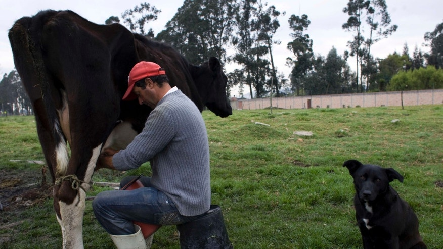 Oct. 13: Reinaldo Cardona, 42, milks a cow on a a dairy farm in Cajica, Colombia. Many of the country's small farmers fear for their livelihoods because of the free trade pact approved by the US Congress.