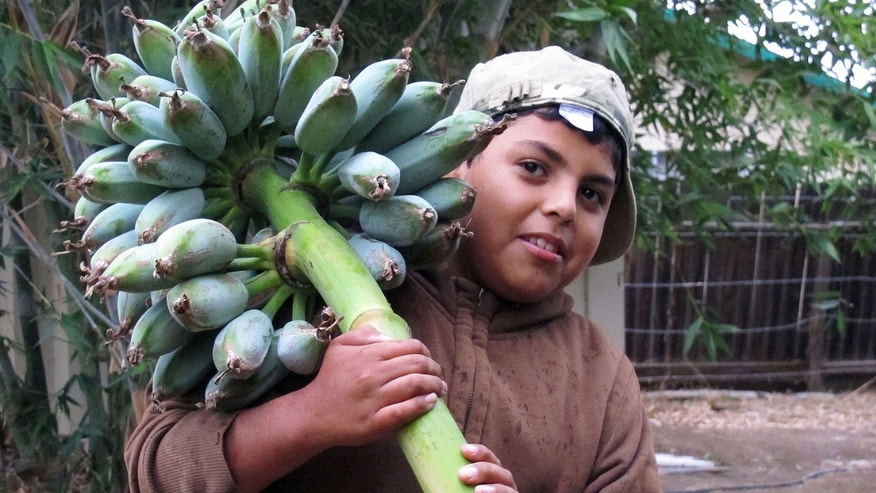 In this photo taken Friday, Nov. 11, 2011, 10-year-old Roman Ramirez carries a banana tree branch from the tropical garden in Woodlake, Calif. Ramirez is one of the children who participate in a  agricultural program that has turned 14 acres in the small farmworker community into a series of lush fruit and vegetable gardens. The program helps youth escape the temptations and violence of gang life. (AP Photo/ Gosia Wozniacka)