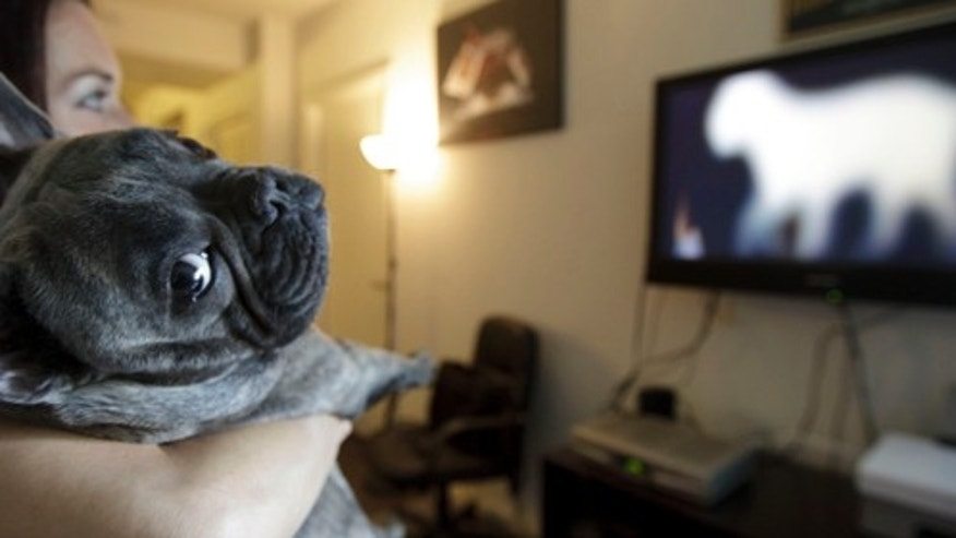 In this April 7, 2012 picture, Bleu, a French bulldog owned by Maria Catania, left, watches DogTV in her apartment in San Diego.(AP Photo/Gregory Bull)