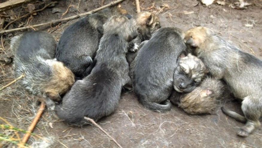 In this May 6, 2012 photo provided by the Wolf Conservation Center, a litter of eight new born Mexican wolf pups snuggle at the Centerâs facility in South Salem, N.Y.  (AP Photo/Wolf Conservation Center, Maggie Howell)