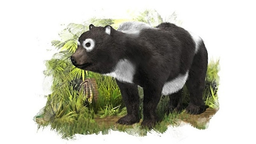 With only teeth to go on, scientists have reportedly identified a giant panda ancestor.[Credit: José Antonio Peñas/SINC]