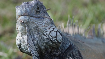 DORAL, FL - MARCH 12:  An iguana watches the action on the 10th hole during the third round of the 2011 WGC- Cadillac Championship at the TPC Blue Monster at the Doral Golf Resort and Spa on March 12, 2011 in Doral, Florida.  (Photo by Sam Greenwood/Getty Images)