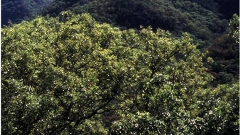 Mexican oak, Quercus Canbyi, Canby's Oak.