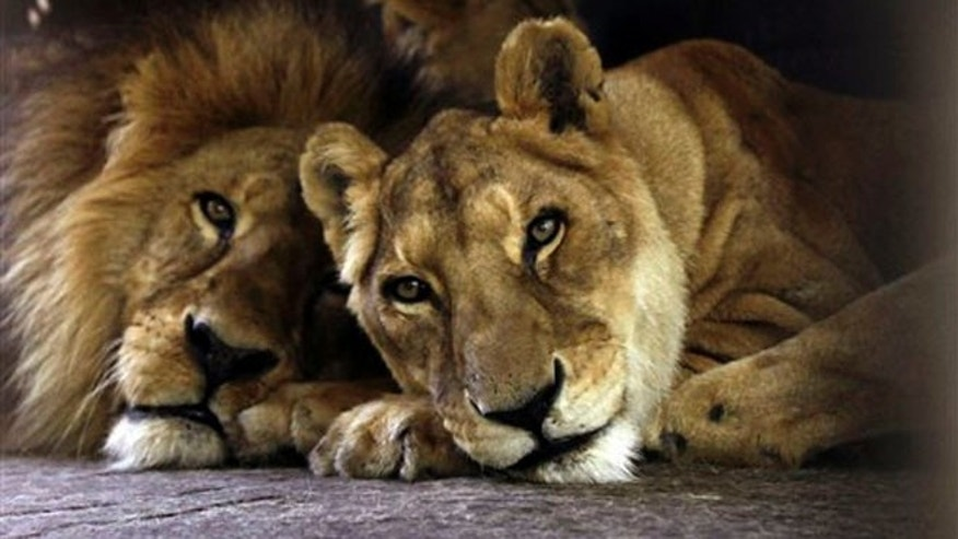 Two circus lions rest in their cage on zoo grounds, in Asuncion, Paraguay,Tuesday, Aug. 28, 2012. The lions are two of the seven African lions and nine Bengal tigers from an Argentine circus that were stuck in a Paraguayan border town for two months and recently moved to a shaded area at the Asuncion Zoo where Paraguay's wildlife agency hopes they will be more comfortable as circus owners and Argentine officials work out the circus animals' paperwork for re-entry. (AP Photo/Jorge Saenz)