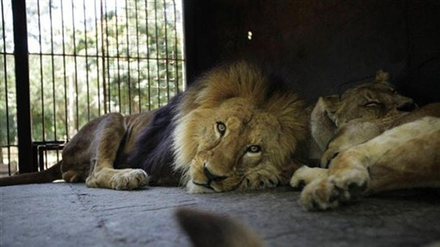 Three circus lions rest in their cage on zoo grounds, in Asuncion, Paraguay,Tuesday, Aug. 28, 2012.