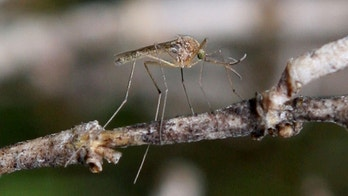MARTINEZ, CA - APRIL 09:  A mosquito sits on a stick April 9, 2009 in Martinez, California. Unseasonably warm weather for Northern California in January appears to have brought  female mosquitos out of hibernation and have started to breed months ahead of the normal breeding season. Several groups of mosquitos found in a marsh near the Contra Costa County town of Martinez have tested positive for the West Nile Virus prompting county officials to do more testing and releasing mosquito fish in abandoned pools around the county.  (Photo by Justin Sullivan/Getty Images)