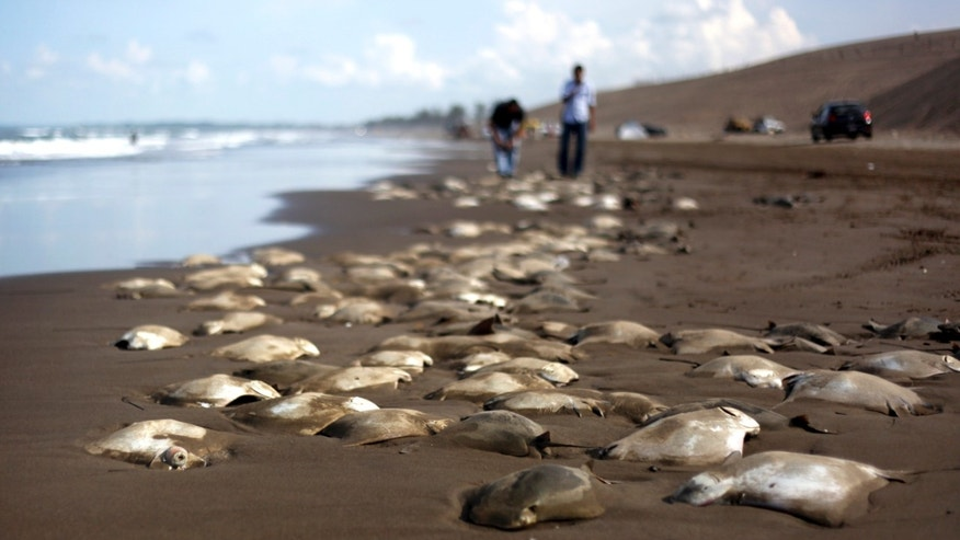 Stingray carcasses litter the shore of the Chachalacas beach near the town of Ursulo Galvan on Mexico's Gulf Coast, July 16, 2013.