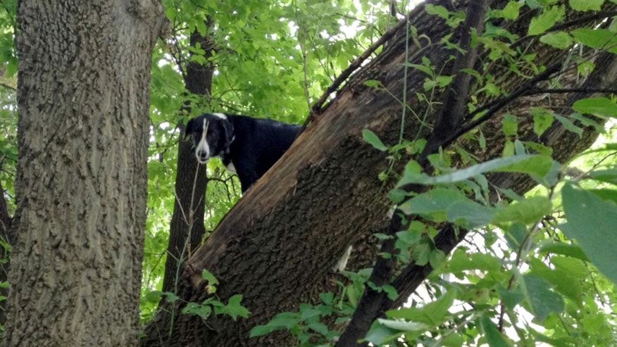 This Aug. 11, 2013, photo provided by Ron Stevenson shows Laddy, a border collie, who was found Sunday stuck up in a tree two blocks from his Davenport home, Iowa.  Cynthia Weeks, his owner, said she believes Laddy escaped Friday from an invisible electronic fencing system thanks to a non-working battery in his collar. She said his love for squirrels and chasing things probably led him up the tree. Despite a few abrasions on the pads of his feet, he's otherwise fine. (AP Photo/Ron Stevenson) MANDATORY CREDIT