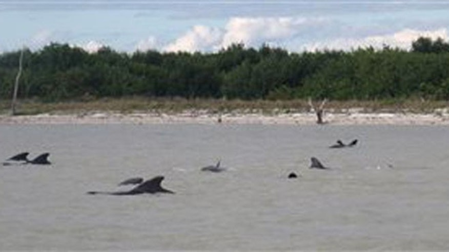 In this Tuesday, Dec. 3, 2013 photo provided by the National Park Service, pilot whales are positioned in shallow waters just off a beach in a remote area of the western portion of Everglades National Park, Fla. Federal officials said some whales have died. The marine mammals are known to normally inhabit deep water. (AP Photo/National Park Service)