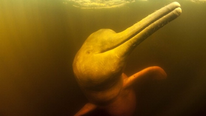 A Pink River Dolphin in the water of Acajatuba Lake, a tributary of Rio Negro in the Amazon, Brazil. (Photo by Franco Banfi / Barcroft Media / Getty Images)