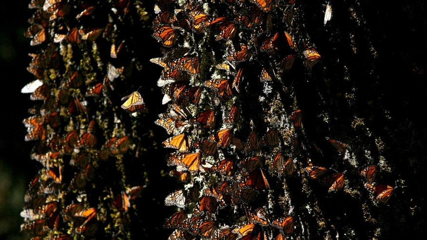 FILE - In this March 13, 2005 file photo, Monarch butterflies gather on a tree at the El Rosario Butterfly Sanctuary near Angangueo, Mexico. The number of Monarch butterflies wintering in Mexico has plunged to its lowest level since studies began in 1993. A report released on Jan. 29, 2014 by the World Wildlife Fund, Mexicos Environment Department and the Natural Protected Areas Commission blames the dramatic decline on the insects loss of habitat due to illegal logging in Mexicos mountaintop forests and the massive displacement of its food source, the milkweed plant. (AP Photo/Kirsten Luce, File)