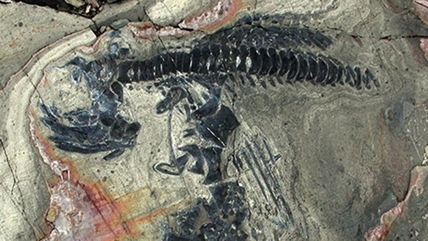 Forty-six skeletons of ichthyosaurs were excavated over three months.