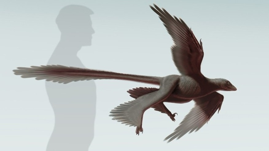 Illustration of Changyuraptor yangi, approximately 4 ft.long, compared to the human size.