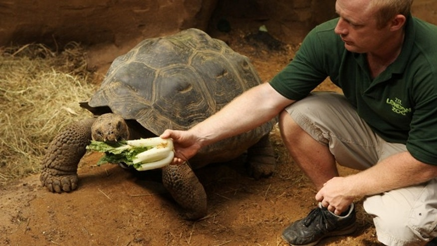 "LONDON, ENGLAND - JULY 16:  Ian Stephen, ZSL's Assistant Curator of Herpetology, feeds the Galapagos tortoise Dolly, aged 16, in the new ""Giant of the Galapagos"" exhibit in ZSL London Zoo on July 16, 2009 in London, England. Dolly is joined by another female Dolores , aged 14, and a 70 year old tortoise Dirk, who weights 200kg, in the hope of initiating a breeding program.  (Photo by Oli Scarff/Getty Images) *** Local Caption *** Ian Stephen"