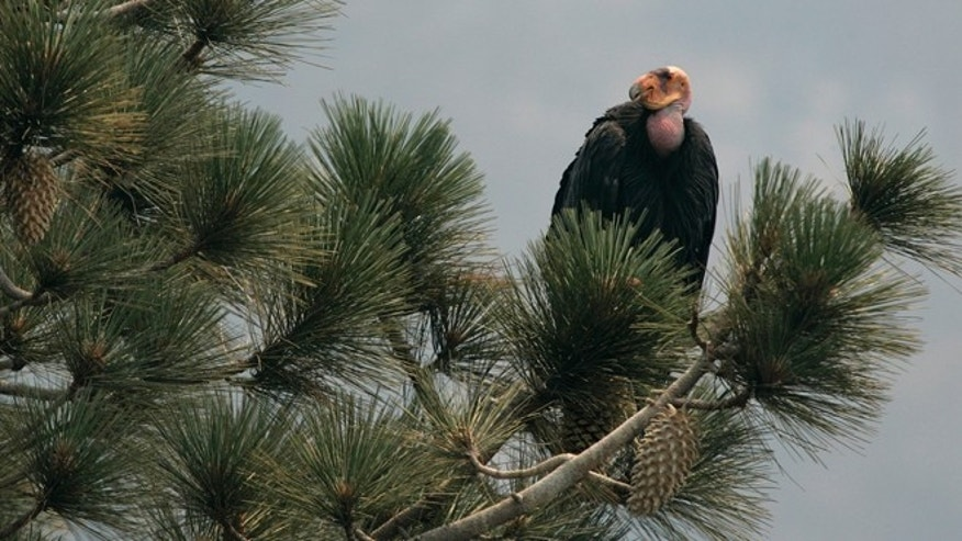 FILE - In this July 10, 2008, file photo, a California Condor is perched atop a pine tree in the Los Padres National Forest east of Big Sur, California. Two endangered female California condors have been transferred from the U.S. to Mexico Citys Chapultepec Zoo, Nov. 10, 2014, for a new breeding-in-captivity program. A U.S. Embassy statement says the zoo will begin raising the birds for eventual release into the wild. The goal is for Mexico to take over all aspects of breeding and reintroduction in the country. (AP Photo/Marcio Jose Sanchez, File)