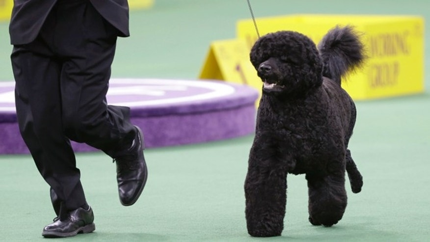 FILE - This Feb. 11, 2014, file photo shows Matisse, a Portuguese water dog, competing in the working group during the Westminster Kennel Club dog show in New York. The Westminster Kennel Club show starts next week in New York and dog lovers all over the world can step right into the judging ring, thanks to the newest tech piece at America's top pooch pageant. (AP Photo/Frank Franklin II, File)