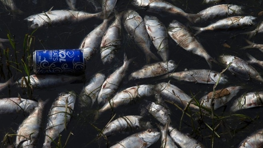 A can floats amid dead fish at the Rodrigo de Freitas lagoon in Rio de Janeiro, Brazil, Monday, April 13, 2015. Rio de Janeiro's waste management company is cleaning up dead fish after a die-off at a lake that's slated to hold Olympic rowing competitions during the 2016 games. Fish die-offs are a frequent occurrence in Rio's waterways, which are filled with raw sewage and garbage. The city's environmental secretariat said the latest incident is the result of recent rains and high sea levels, which caused the lake's water temperature to plummet. (AP Photo/Silvia Izquierdo)