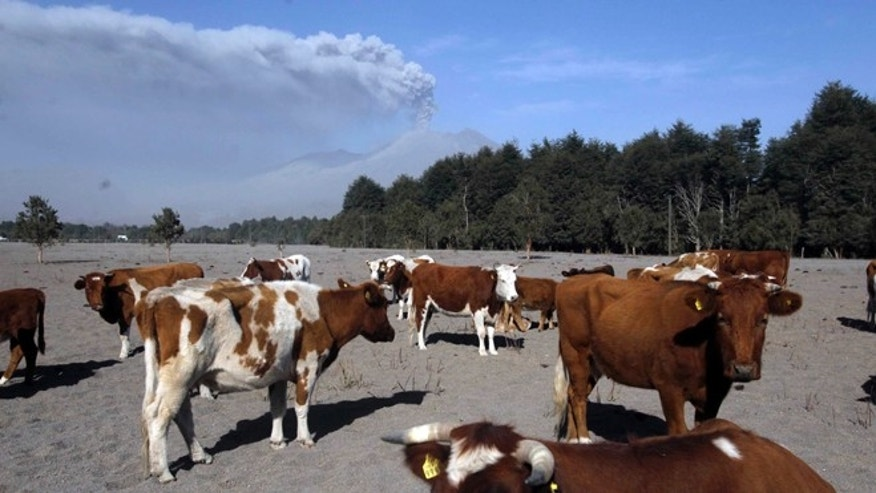 Cattle stand in a field covered with volcanic ash deposited from the eruptions of the nearby Calbuco volcano, pictured in background, in Puerto Varas, Chile, Friday, April 24, 2015. The volcano, which had been dormant for more than four decades, erupted Wednesday. The head of the National Mining and Geology Service said Friday that the volcano's eruptive process could last weeks and even months. (AP Photo/Luis Hidalgo)