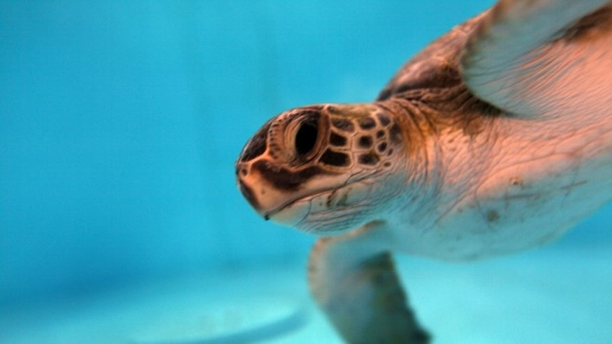 "BOCA RATON, FL - JANUARY 08:  A Green sea turtle is seen in a climate controlled tank as it is treated for ""cold stun"" at the Gumbo Limbo Nature Center on January 8, 2010 in Boca Raton, Florida. With a South Florida forecast of cold weather in the next few days the nature center is bracing for more turtles to be victims of the cold spell. If the green turtle bodies fall below 60 degree temperature they become immobilized and tend to float to the waters surface where they could end up with pneumonia or be unable to defend themselves against predators. The center has taken in around 50 green turtles over the last few days as South Florida experiences prolonged cold weather.  (Photo by Joe Raedle/Getty Images)"