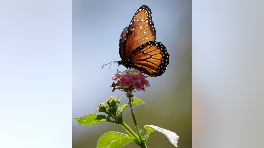 A Monarch butterfly lands on a Confetti Lantana plant, Sunday, Sept. 20, 2015, in San Antonio. Monarchs begin passing through Texas in late September in route to their wintering areas in Mexico. (AP Photo/Eric Gay)