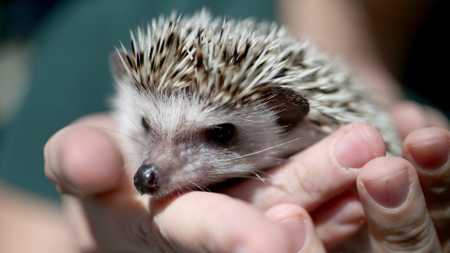FORT LAUDERDALE, FL - JANUARY 22: A hedgehog is seen during a press conference by the Florida Fish and Wildlife Conservation Commission to encourage people who own exotic pets like the hedgehog to turn them in during the Exotic Pet Amnesty Program on January 22, 2014 in Fort Lauderdale, Florida.The program scheduled for Saturday is an effort to reduce the number of nonnative species being released into the wild by pet owners who can no longer care for their pets or no longer wish to keep them. Amnesty Day events are held around the state to provide the opportunity for people to surrender their nonnative pets free of charge with no penalties.  (Photo by Joe Raedle/Getty Images)